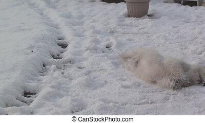 westie rolling in snow