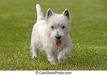 Westie walking in grass - Westhighland White Terrier walking...