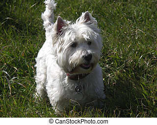 Westie - west highland terrier