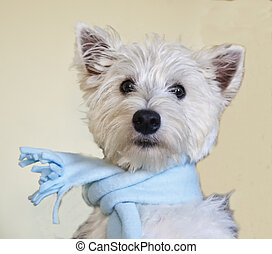 Westie - West Highlands Terrier with blue scarf, square...