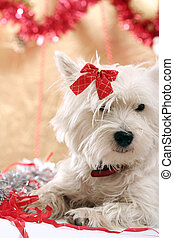 Westie - White puppy with red bow.