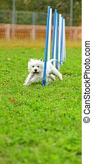 Westies in Agility competition in a slalom obstacle