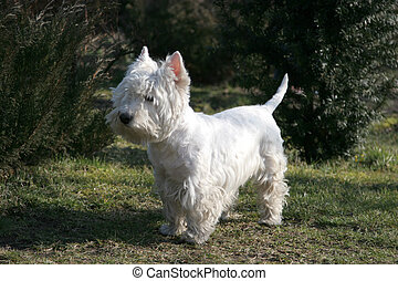 Westie\\\'s Portrait - West Highland White Terrier, known...