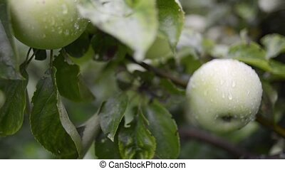 wet apples tree - many juicy apples ripening on tree...