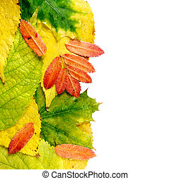 Wet autumn leaves isolated on white background