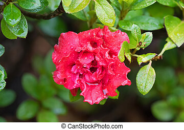 Wet Azalea Indica Goyet, frilly double flower in red...
