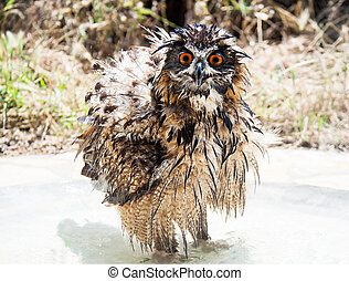 Eurasian Eagle-Owl - Wet bathing Eurasian Eagle-Owl