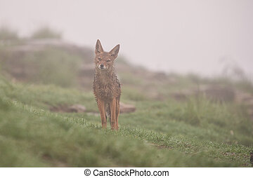 Wet black backed jackal standing in the rain and fog