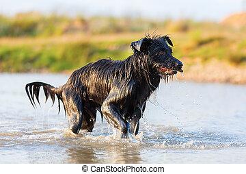 Harzer Fuchs - Australian Shepherd hybrid walking in a lake