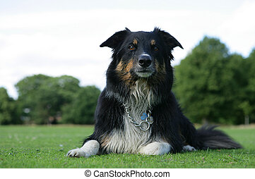 wet border collie dog at the park