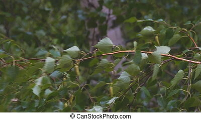 Wet branches and birch leaves in rain - Wet branches and...