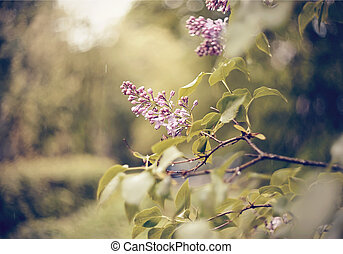 Wet branches of the blossoming lilac
