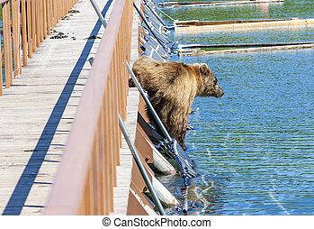 Wet brown bear on the wooden bridge