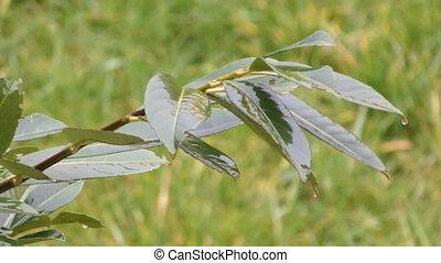 wet bush - leaves of a bush wet from rain