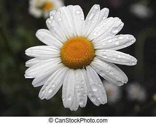 Wet daisy - Daisy flower closeup after rain.