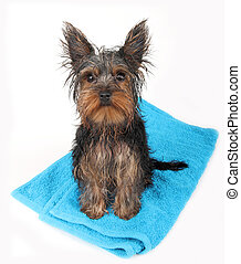 wet  dog after bath, sitting on blue towel.