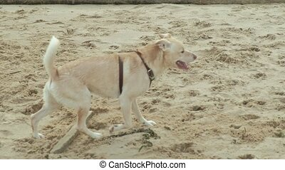 Wet dog running with a stick on the beach
