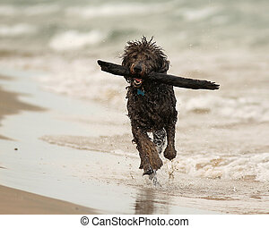 Wet Dog Running with Stick on Beach