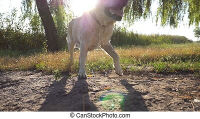 Wet dog shaking off water from his fur near lake at nature. Sun shine at background. Golden retriever or labrador after swims in the pond. Slow motion Close up.