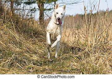 Wet dog skipping on wood