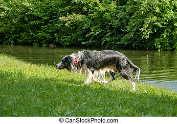 Wet dog walking out of water