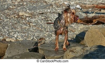 wet dog Yorkshire terrier stands on stones near sea. Summer...