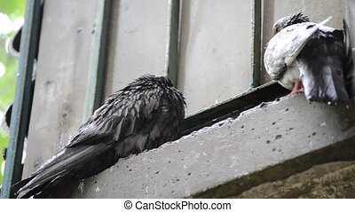 Wet dove sitting on the windowsill during the rain - Wet...