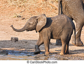 Wet elephant calf playing at the water hole in mud