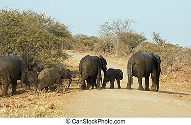 Wet elephant herd crossing the road leaving waterhole