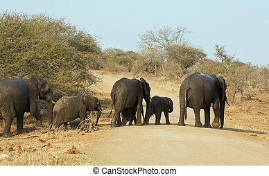 Wet elephant herd crossing the road leaving waterhole