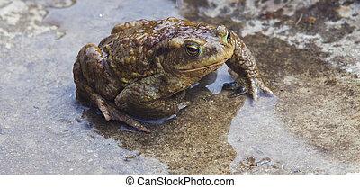 wet frog in water, closeup
