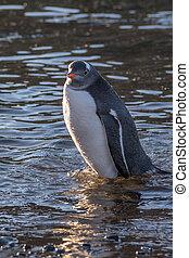 Wet gentoo penguin standing in water  at the Barrientos Island, Antarctic