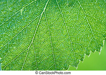 green leaf of a birch close up macro