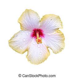 Wet hibiscus flower on white background