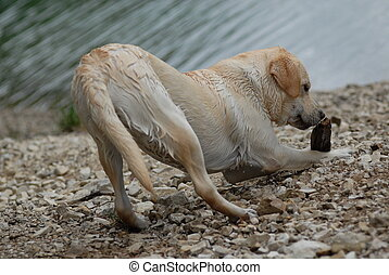 wet labrador in front of the lake