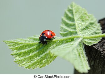 Wet ladybird resting on a leaf