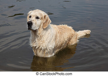 Wet large white dog standing in water and looks into distance