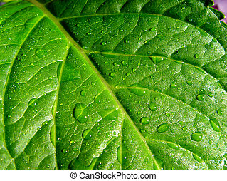 wet leaf - hydrangea after the rain