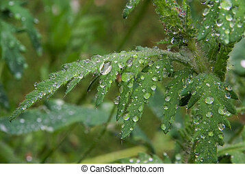wet leaves from poppy 04