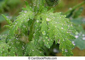 wet leaves from poppy 05