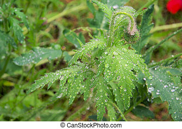 wet leaves from poppy 06