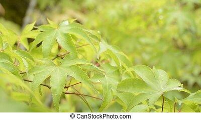 Wet leaves in diagonal half - Fresh green maple leaves wet...