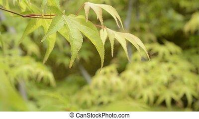 Wet leaves in upper left - Fresh green maple leaves wet with...
