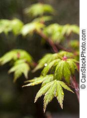 Wet leaves in vertical - Fresh green maple leaves (Acer...