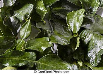Wet leaves of citrus lime