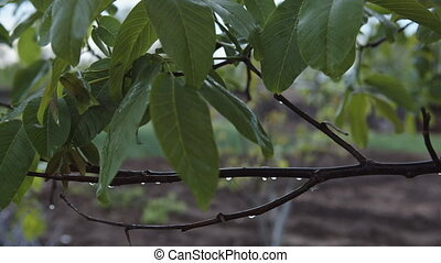 Wet leaves on a tree branch