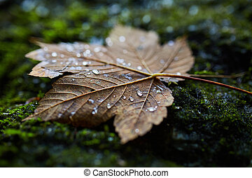 Wet maple leaf closeup