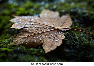Wet maple leaf closeup