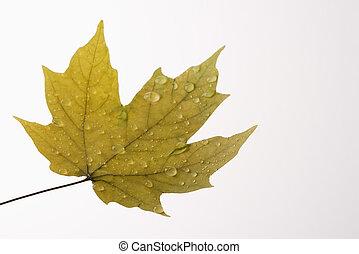 Wet Maple leaf.