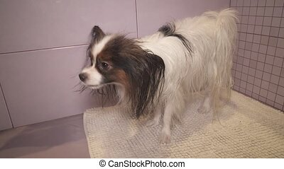 Wet Papillon dog shakes off after bathing stock footage...